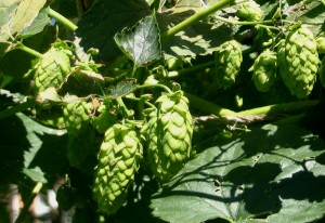 Freshly Picked Hops Go Into a Harvest Ale
